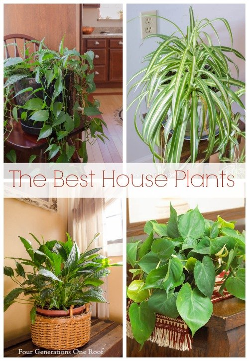 Philodendron and spider plant - Common house plants