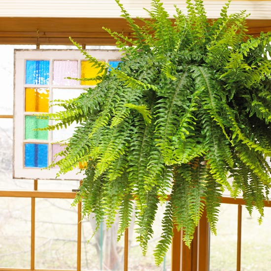 hanging boston fern plant