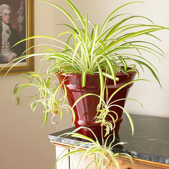 Growing Spider Plants Indoors: Common House Plants {my Mom + Her Plants}