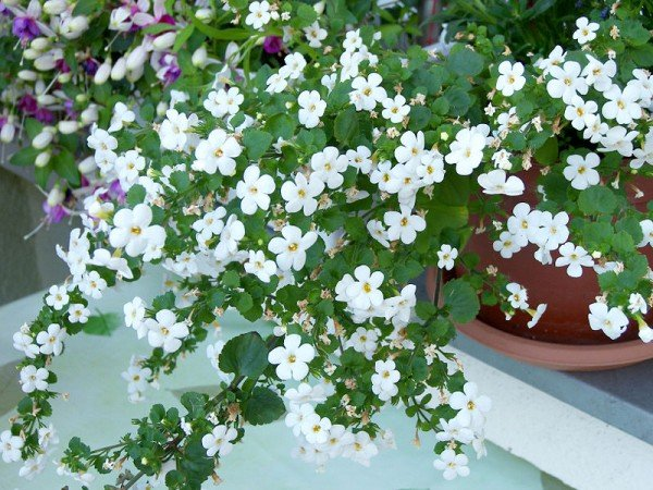 BACOPA potted plant