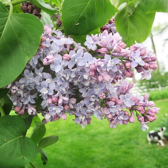 lilac bush spring flower perennial