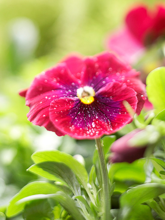 pink pansy flower