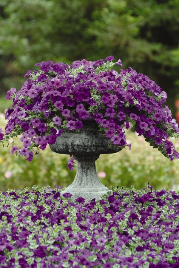 purple potted wave petunia