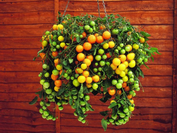 container-garden-tomatoes