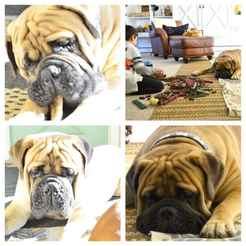 Good-bye to our sweet Garth - losing our bullmastiff at age 4