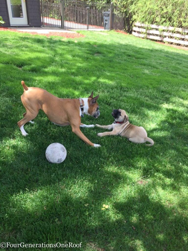 bullmastiff puppy / Mr. Murphy is fitting right in