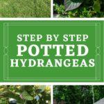 how to pot hydrangeas