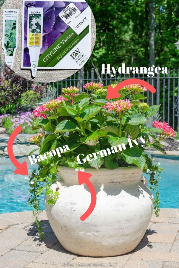 growing pink hydrangea bushes in a pot with Bacopa and German Ivy