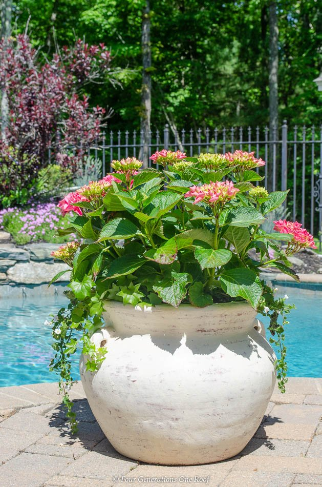 hydrangea with white bacopa, german ivy, pool patio, flower bed, blue pool water