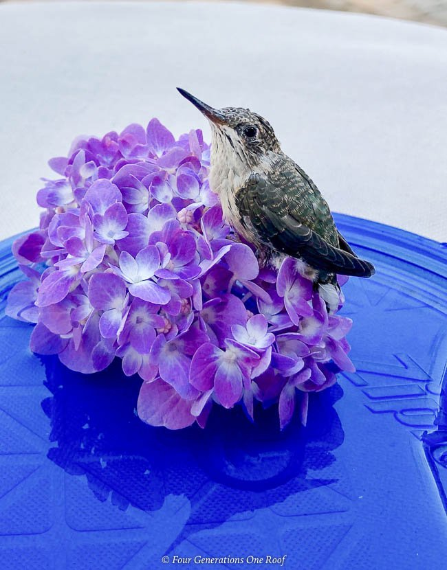 how to save a hummingbird with sugar water and hydrangea
