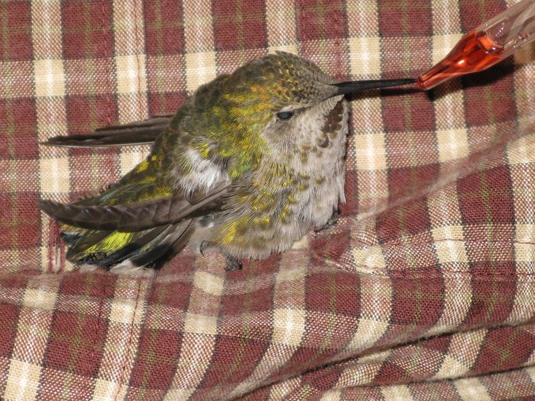how to save a hummingbird with sugar water