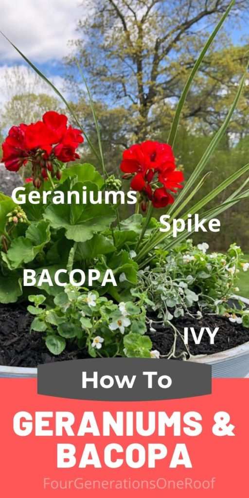 HOW TO PLANT GERANIUMS AND BACOPA IN A GRAY BOWL PLANTER
