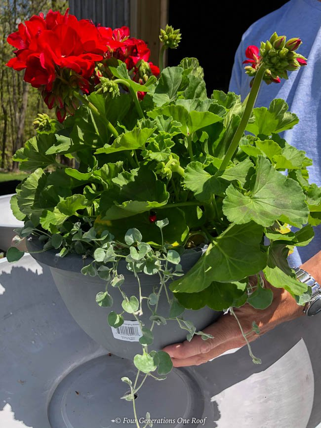 red geranium with bacopa and ivy
